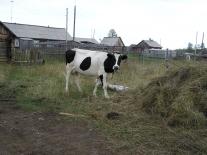 Муторайская корова