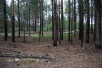 Сосновый бор у Максимкина Яра
