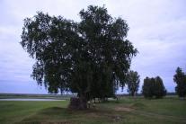 Чудо-дерево на окраине Старого Каргаска