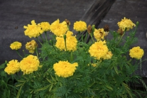 Цветы Тутончан