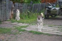 Тутончанские собаки