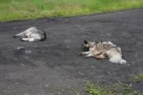 Тутончанские собаки на отдыхе