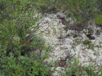 Олений мох ягель