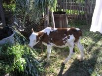 Келлогский теленок