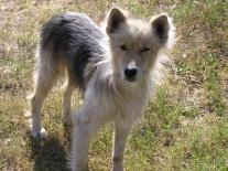 Сургутихинская собачка